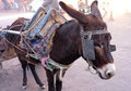 Working Donkey on streets of Marrakech Stock Photography