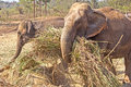 Working elephant indian carring a wisp of cane Stock Images