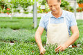 Working in green environment portrait of man apron taking care of plants while standing greenhouse Royalty Free Stock Image