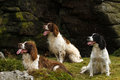 Working springer spaniel dogs a fine example of waiting for their next retrieve Stock Photography