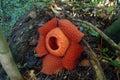 World s largest flower rafflesia tuanmudae gunung gading national park sarawak malaysia flora Royalty Free Stock Photography