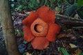 World s largest flower rafflesia tuanmudae gunung gading national park sarawak malaysia plant Royalty Free Stock Photography