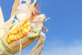 Worm in corn a eating the Royalty Free Stock Photos