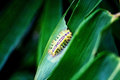 Worm yellow eat green bamboo leaf Stock Photos