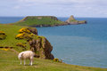 Worms head with sheep on the gower peninsular a in the foreground Stock Photos