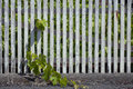 Worn wooden trellis with grape vigor and liveliness trapped behind the fence Stock Photography