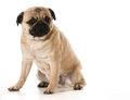 Worried dog pug with expression sitting on white background Royalty Free Stock Image