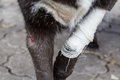 Wound on dog paw Royalty Free Stock Photo