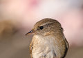 Wren close up of a Royalty Free Stock Photo