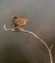 Wren with insects Royalty Free Stock Photo