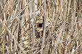 Wren nest a marsh in the reeds next to a pond Royalty Free Stock Photos