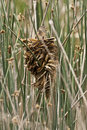Wren nest and marsh wren a in the reeds next to a pond Stock Photos