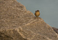 Wren perching on a stone an eurasian troglodytes troglodytes sits big far from it s characteristic forest habitat it is one of the Royalty Free Stock Photography