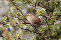 Wren troglodytes troglodytes single bird singing on branch Stock Images