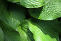 Wrinkled green hosta leaf Royalty Free Stock Photo