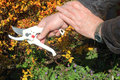 Wrist strain or injury closeup of a man holding a pair of secateurs and holding his because of repetitive damage Royalty Free Stock Photo