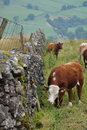 Wsi krów anglików ogrodzenia trawy pasanie Fotografia Royalty Free