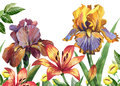 WWatercolor floral image with iris and lily flowers