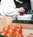 Wybiera pomidory Zdjęcie Royalty Free