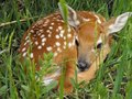 Wyoming Fawn Royalty Free Stock Image