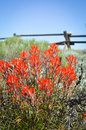 Wyoming's Flower, Indian Paintbrush Royalty Free Stock Photos
