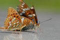 Wysoki Brown Fritillary Obrazy Stock