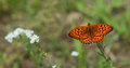 Wysoki Brown Fritillary Obraz Royalty Free