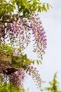 Wysteria flowers hanging seasonal garden flowering plants in full bloom Stock Image