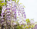 Wysteria flowers hanging seasonal garden flowering plants in full bloom Royalty Free Stock Photography