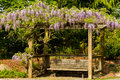 Wysteria vine on trellis Royalty Free Stock Photo