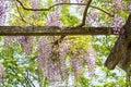 Wysteria vine on trellis seasonal garden flowering plants in full bloom Stock Images
