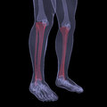 X ray of human legs render on a black background Royalty Free Stock Image