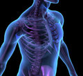 X-ray illustration male human body and skeleton Royalty Free Stock Photo