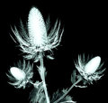 X-ray image of a flower isolated on black , the sea holly Royalty Free Stock Photo