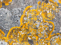 Xanthoria parietina lichen growing on stone common orange Royalty Free Stock Photography