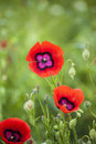 Xinjiang red flowers also known as wild poppy summer blossom buds open time is only a week Royalty Free Stock Images
