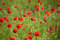 Xinjiang red flowers also known as wild poppy summer blossom buds open time is only a week Royalty Free Stock Photo