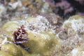 Xmas tree worm underwater a on a hard coral Royalty Free Stock Photo