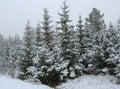Xmas trees Royalty Free Stock Photo
