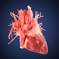 Xray heart illustratio. Anatomicaly accurate Royalty Free Stock Photo