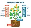 Xylem and phloem vector illustration. Labeled plant transportation scheme. Royalty Free Stock Photo