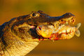 Yacare Caiman, crocodile with fish in muzzle with evening sun, detail portrait of animal in the nature habitat, action feeding sce Royalty Free Stock Photo