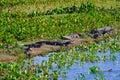 Yacare Caymans, Caiman Crocodilus Yacare Jacare, in the grassland of Pantanal wetland, Corumba, Mato Grosso Sul, Brazil