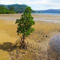 Yaeyama mangrove (Rhizophora mucronata) Royalty Free Stock Photos