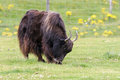Yak (Bos grunniens) Royalty Free Stock Photo