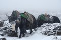 Yak caravan going from everest base camp nepal in blizzard himalayas chomolungma region Stock Photo