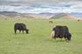 Yak in china grazing north yunnan near tibet Royalty Free Stock Image