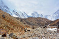 Yak drover with caravan of yaks on the way from Lobuche to Gorak Royalty Free Stock Photo