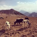 Yak the in the grassland of tibet Royalty Free Stock Photo