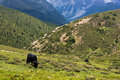 Yak grazing in tibetan highlands (2) Stock Photography